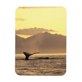 Los E.E.U.U., Alaska, ballena jorobada interior de Iman Rectangular