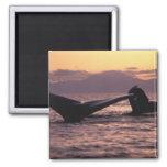 Los E.E.U.U., Alaska, ballenas jorobadas interiore Imán De Frigorífico
