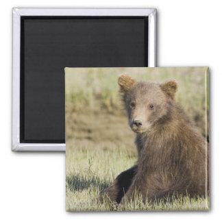 LOS E.E.U.U. Alaska. Cachorro de oso costero de Br Imán Cuadrado