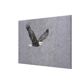 Los E.E.U.U., Alaska, coto de Chilkat Eagle calvo. Impresiones De Lienzo