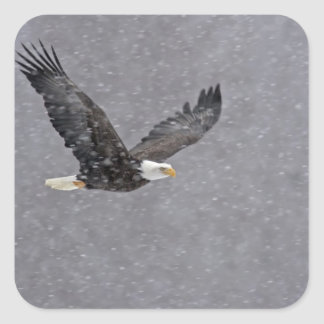 Los E.E.U.U., Alaska, coto de Chilkat Eagle calvo. Pegatina Cuadrada
