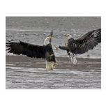 Los E.E.U.U., Alaska, coto de Chilkat Eagle calvo. Postal