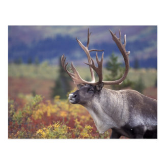 Los E.E.U.U., Alaska, Denali NP, caribú en tundra Postal
