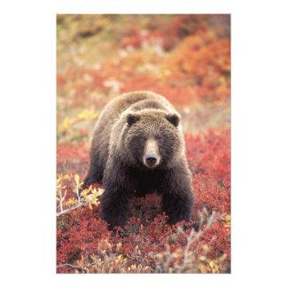 Los E.E.U.U., Alaska, Denali NP, oso grizzly femen Cojinete