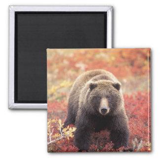 Los E.E.U.U., Alaska, Denali NP, oso grizzly femen Imán Cuadrado