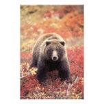 Los E.E.U.U., Alaska, Denali NP, oso grizzly femen Arte Fotográfico