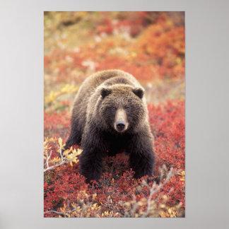 Los E.E.U.U., Alaska, Denali NP, oso grizzly femen Póster