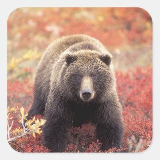 Los E.E.U.U., Alaska, Denali NP, oso grizzly Calcomanía Cuadradas Personalizadas