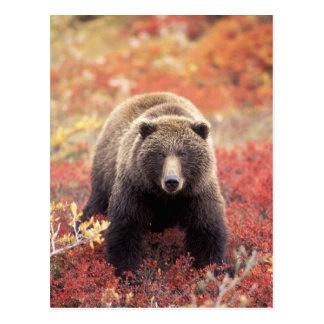Los E.E.U.U., Alaska, Denali NP, oso grizzly Tarjetas Postales