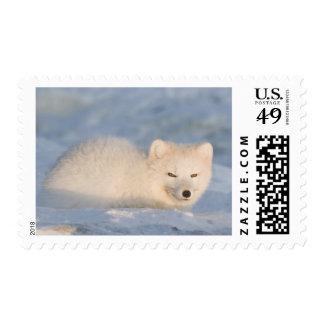 Los E.E.U.U., Alaska, llano costero 1002 del ANWR. Sellos