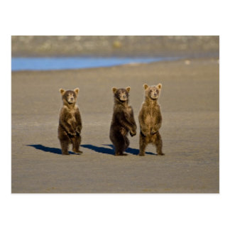 LOS E.E.U.U. Alaska. Los cachorros de oso costeros Tarjeta Postal