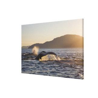 Los E.E.U.U., Alaska, Megaptera de la ballena joro Lona Envuelta Para Galerías