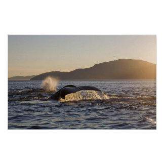 Los E.E.U.U., Alaska, Megaptera de la ballena joro Póster