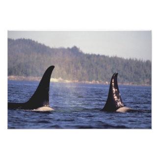 Los E.E.U.U., Alaska, orca emergente del paso inte Fotografía
