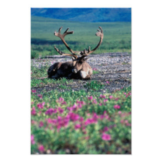 Los E.E.U.U., Alaska, parque nacional de Denali, c Impresiones