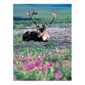 Los E.E.U.U., Alaska, parque nacional de Denali, Tarjeta Postal