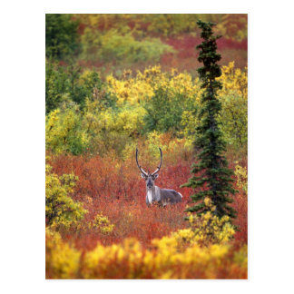 Los E.E.U.U., Alaska, parque nacional de Denali. Tarjeta Postal