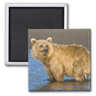 LOS E.E.U.U. Alaska. Pesca costera del oso de Brow Imán Cuadrado