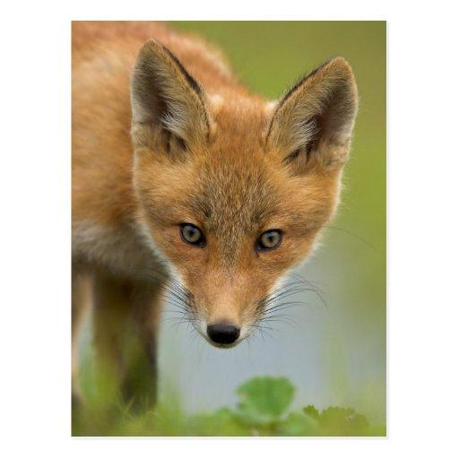 Los E.E.U.U., Alaska, río de McNeil. Fox rojo. 4 Tarjeta Postal