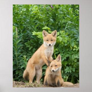 Los E.E.U.U., Alaska, río de McNeil. Fox rojo. 5 Poster