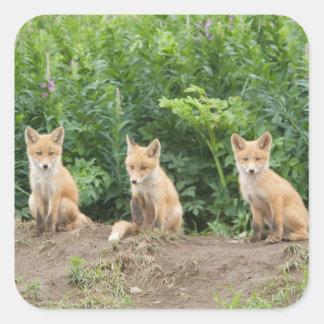 Los E.E.U.U., Alaska, río de McNeil. Fox. rojo Pegatina Cuadrada