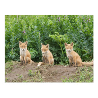 Los E.E.U.U., Alaska, río de McNeil. Fox. rojo Tarjeta Postal