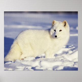 Los E.E.U.U., Alaska. Zorro ártico en abrigo de in Impresiones