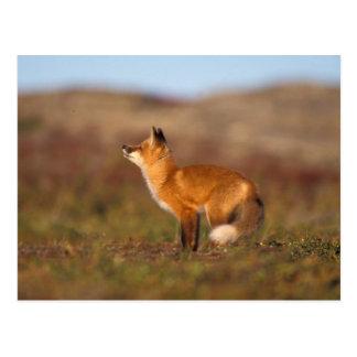 Los E.E.U.U., Alaska, zorro rojo, colores de la Postales