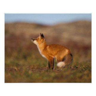 Los E.E.U.U., Alaska, zorro rojo, colores de la tu Poster