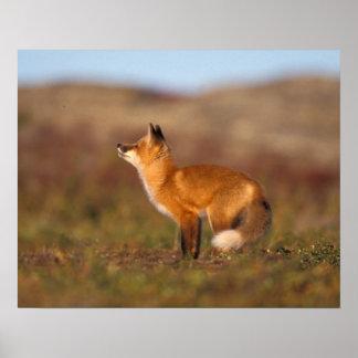 Los E.E.U.U., Alaska, zorro rojo, colores de la tu Póster