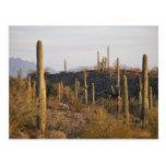 Los E.E.U.U., Arizona, desierto de Sonoran, Ajo, Tarjeta Postal
