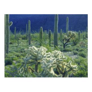 Los E.E.U.U., Arizona, nacional del cactus del Tarjeta Postal