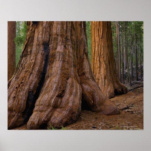 Los E.E.U.U., California, árbol de la secoya gigan Impresiones