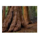 Los E.E.U.U., California, árbol de la secoya gigan Tarjeta Postal