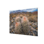 Los E.E.U.U., California, cactus en desierto Lienzo Envuelto Para Galerías