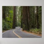 Los E.E.U.U., California, camino a través del bosq Póster