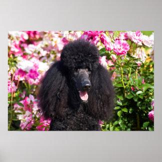 Los E.E.U.U., California. Retrato del caniche Póster