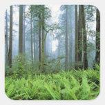 Los E.E.U.U., California, secoya NP. Árboles de la Calcomanias Cuadradas