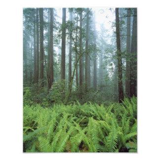 Los E.E.U.U., California, secoya NP. Helechos y Arte Fotografico