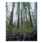 Los E.E.U.U., California, secoya NP. La niebla fil Impresiones