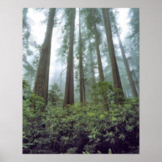 Los E.E.U.U., California, secoya NP. La niebla fil Póster
