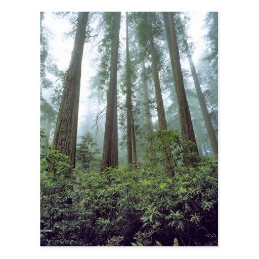 Los E.E.U.U., California, secoya NP. La niebla Postal