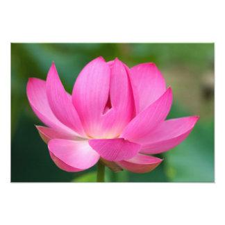 LOS E.E.U.U.; Carolina del Norte; Flor de Lotus Fotografías
