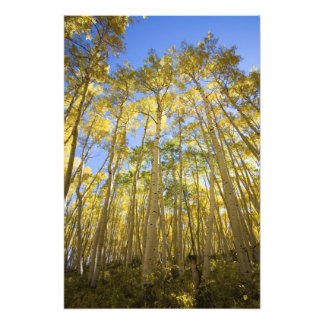 Los E.E.U.U., Colorado, álamos tembloses del otoño Impresion Fotografica