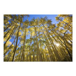 Los E.E.U.U., Colorado, álamos tembloses del otoño Arte Con Fotos