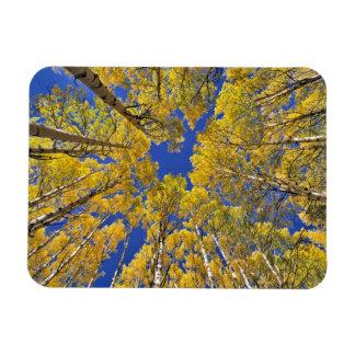 Los E.E.U.U., Colorado, área de Aspen. Bosque de A Imanes Flexibles