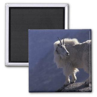 Los E.E.U.U., Colorado, cabra de montaña (Oreamnos Imán Cuadrado