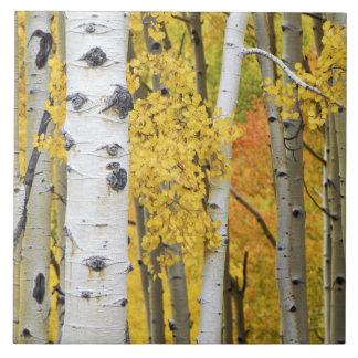 Los E.E.U.U., Colorado, montañas rocosas.  Álamo t Azulejo Cuadrado Grande
