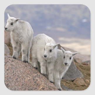 Los E.E.U.U., Colorado, Mt. Evans. Cabra de montañ Calcomanía Cuadrada Personalizada