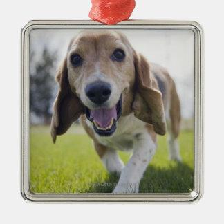 Los E.E.U.U., Colorado, perro curioso que camina Adorno Navideño Cuadrado De Metal